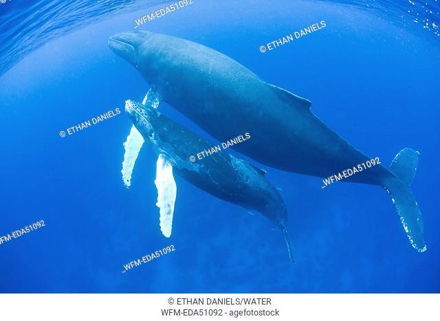 Humpback Whale, Mother and Calf, Megaptera novaeangliae, Caribbean Sea, Dominican Republic