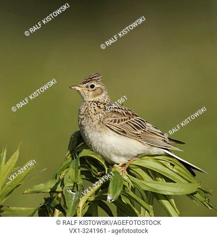 Skylark / Feldlerche ( Alauda arvensis ) perched on top of a plant, nice side view, green surrounding, wildlife, Europe