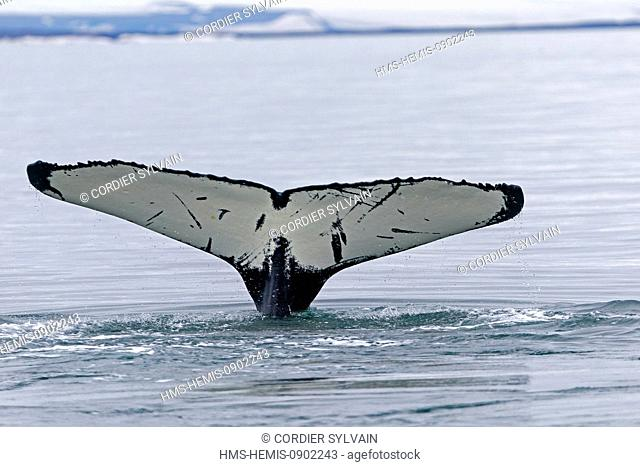 Norway, Svalbard, Nordaustlandet, Humpback whale (Megaptera novaeangliae), tail fin