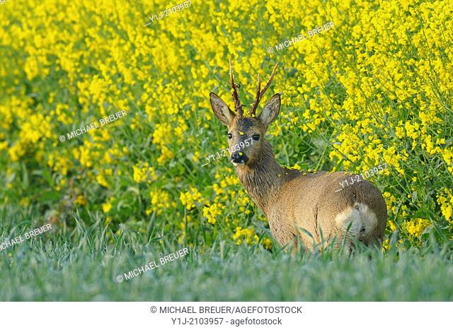 Roebuck in canola field, Capreolus capreolus, Summer, Hesse, Germany, Europe