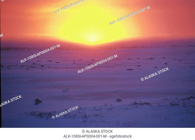 Sunset Arctic Fox Winter Hudson's Bay Manitoba Canada