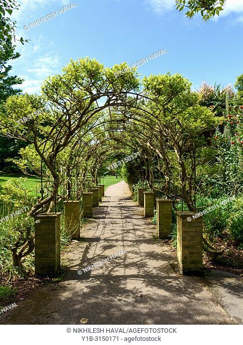 Trumpet vine Archway, Ventnor Botanic Gardens, Isle of Wight, UK