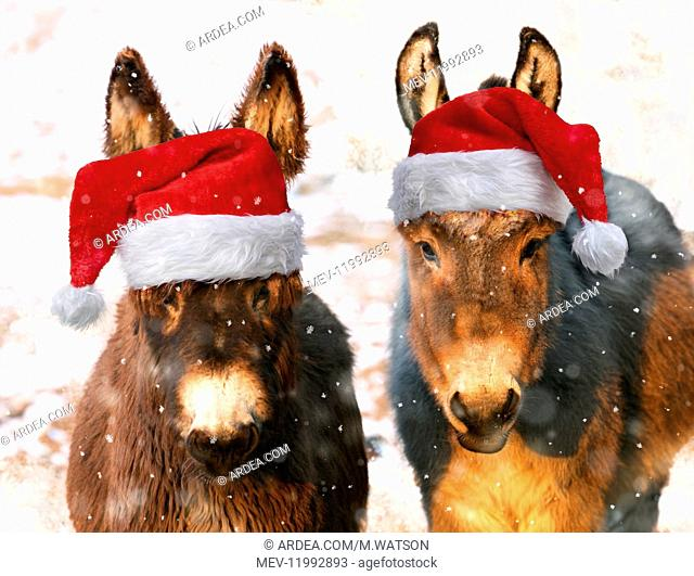 Poitou Donkey and normal Donkey (on right) wearing Christmas hats in snow
