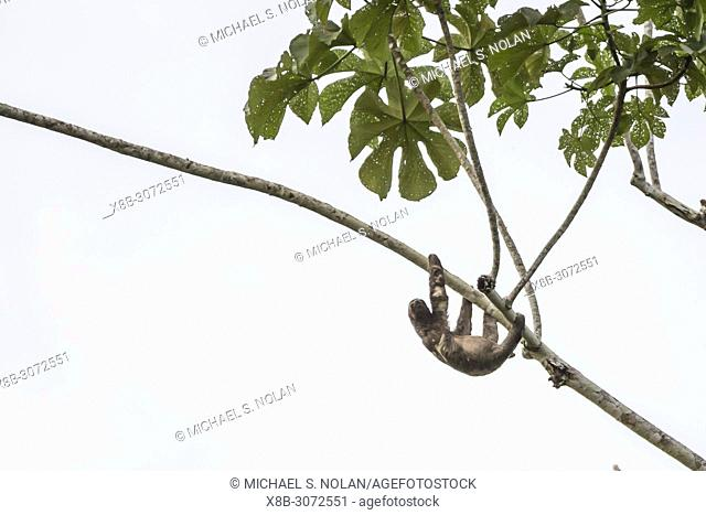 A wild brown-throated sloth, Bradypus variegatus, Nauta Caño, Upper Amazon River Basin, Loreto, Peru