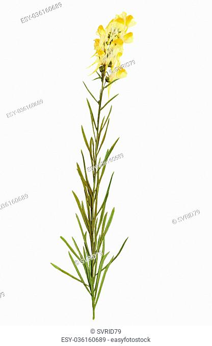 Pressed and Dried delicate flower Linaria vulgaris on stem with green leaves. Isolated on white background