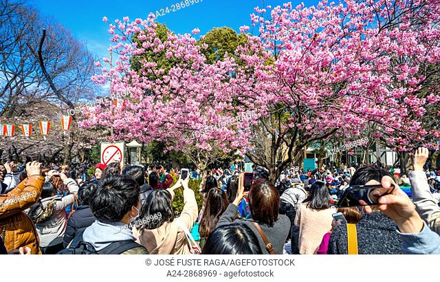 Japan, Tokyo City, Ueno district, Ueno Park, celebrating cherry blossoms