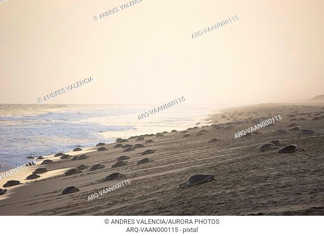 Thousands of Olive Ridley Sea Turtles flood the beach in a massive arribada, laying their eggs in the very beaches where they were born, in Oaxaca, Mexico