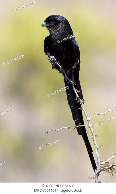 Magpie Shrike (Urolestes melanoleucus), South Africa