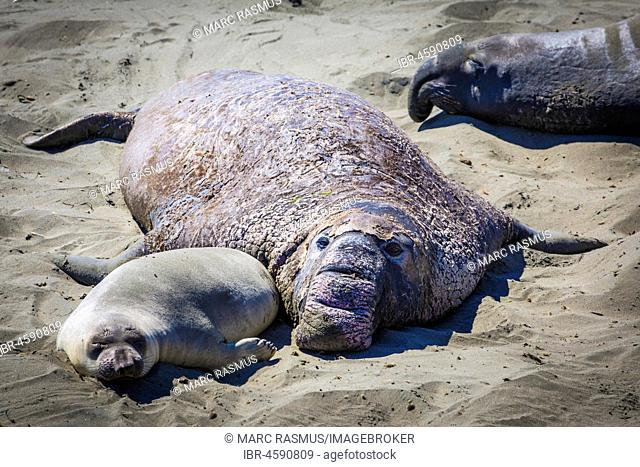 Old Northern Elephant Seal (Mirounga angustirostris) with young animal is in the sand, near San Simeon, California, USA