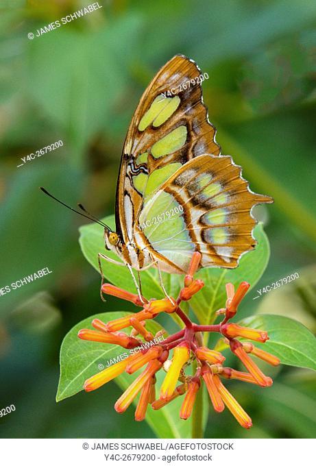 Malachite Siproeta stelenes butterfly taken at Butterfly Estates in Fort Myers Flkorida