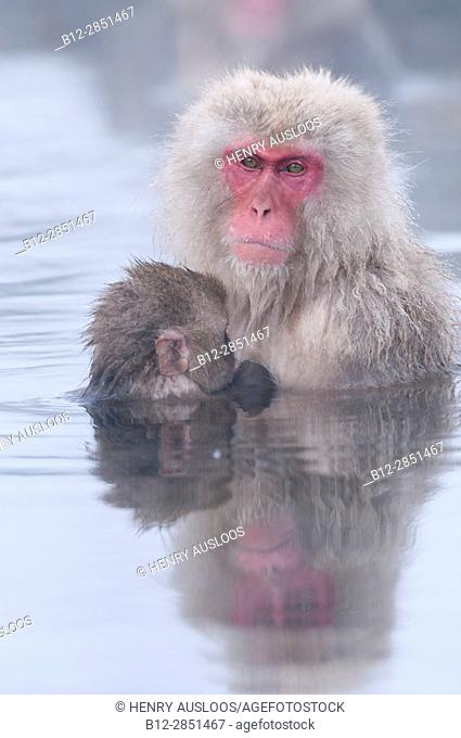Japanese macaque or snow japanese monkey, baby and mom in onsen (Macaca fuscata), Japan