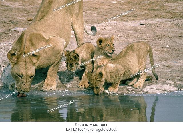 Lioness and cubs drinking at water-hole