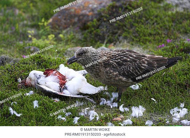 Skua feeding Northern Fulmar, Stercorarius skua, Faguholsmyr, Iceland, Europe