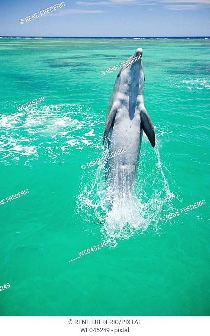 Dolphins (Tursiops truncatus)  Carribean Sea near Roatan, Honduras