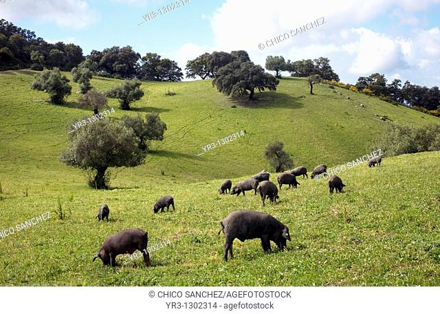 Spanish Iberian pigs, the source of Iberico ham known as pata negra, graze in a daisy field in Prado del Rey, Sierra de Cadiz, Cadiz province, Andalusia, Spain