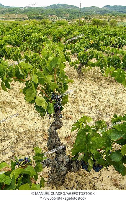 Vineyards. Bodega Laureano Serres, Denominación de Origen Terra Alta, Tarragona Province, Catalonia, Spain