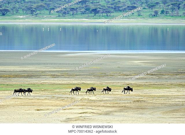 Blue Wildebeest (Connochaetes taurinus) group in front of Lake Ndutu, Serengeti National Park, Tanzania