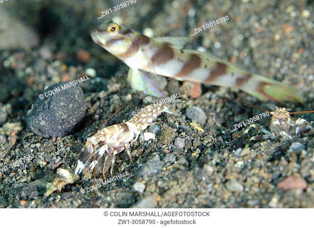 Slantbar Shrimpgoby (Amblyeleotris diagonalis, Gobiidae family) with Tiger Snapping Shrimp (Alpheus bellulus, Alpheidae family) cleaning hole entrance on sand