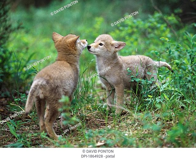 Coyote puppies Canis latrans greeting