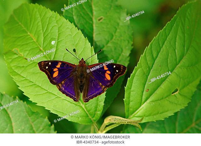 Nymphalidae (Nymphidae) Tropical butterfly (Doxocopa linda), Iguazú National Park, Paraná, Brazil