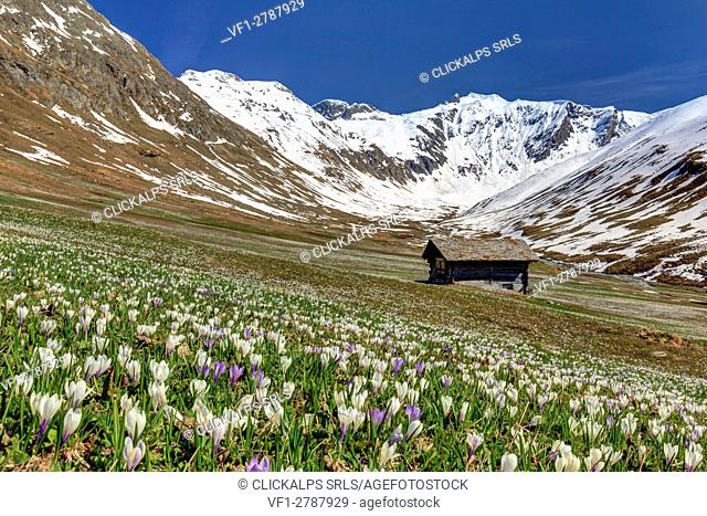 Crocus explosion in front of a typical hut in Juf, Val d'Avers, Grisons, Switzerland