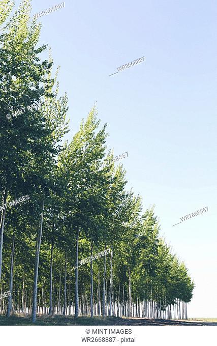 A plantation of poplar trees, commercial tree farm