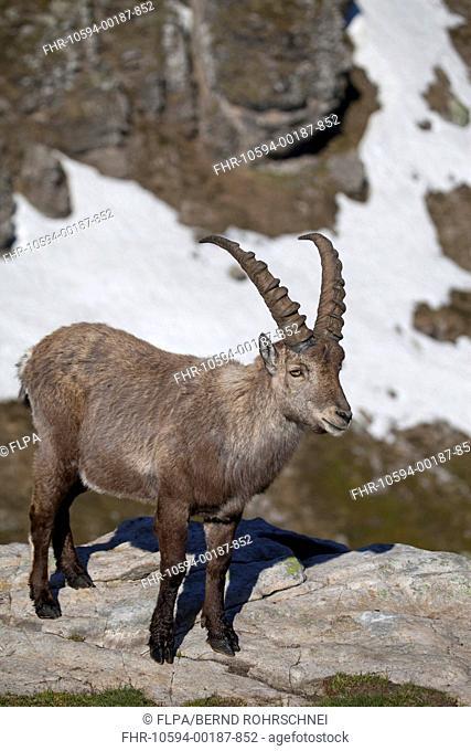 Alpine Ibex Capra ibex adult male, standing on rock, Niederhorn, Swiss Alps, Bernese Oberland, Switzerland, june