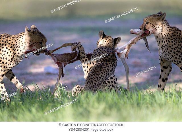 Cheetah (Acinonyx jubatus), eating, Kgalagadi Transfrontier Park, Kalahari desert, South Africa/Botswana