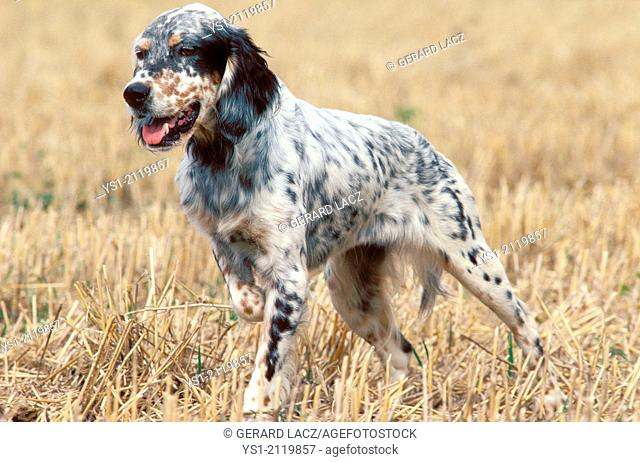 English Setter Dog standing in Field