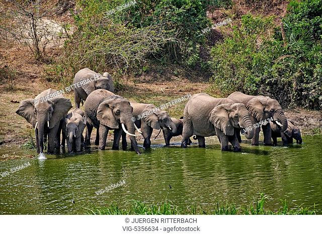 herd of African bush elephants, Loxodonta africana, Kazinga Channel, Queen Elizabeth National Park, Uganda, Africa - Uganda, 14/02/2015