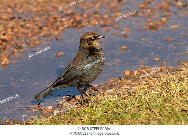 Rusty Blackbird (Euphagus carolinus) vagrant, Kern County, California