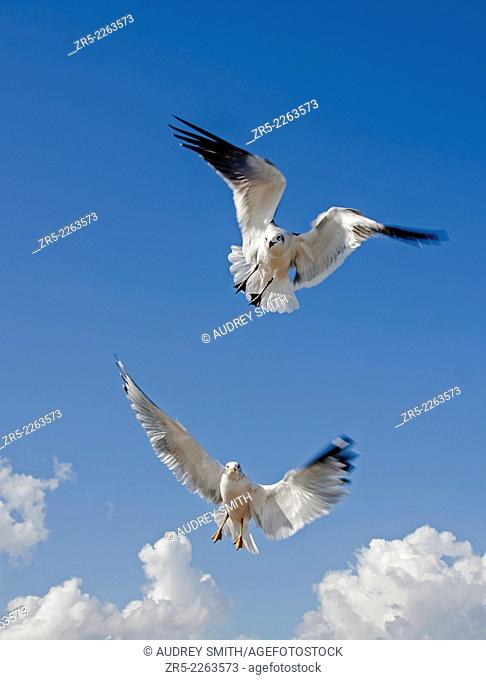 A ring-billed gull (Larus delawarensis), bottom, and laughing gull (Larus atricilla), top, hover in a blue, clouded sky, Florida, USA