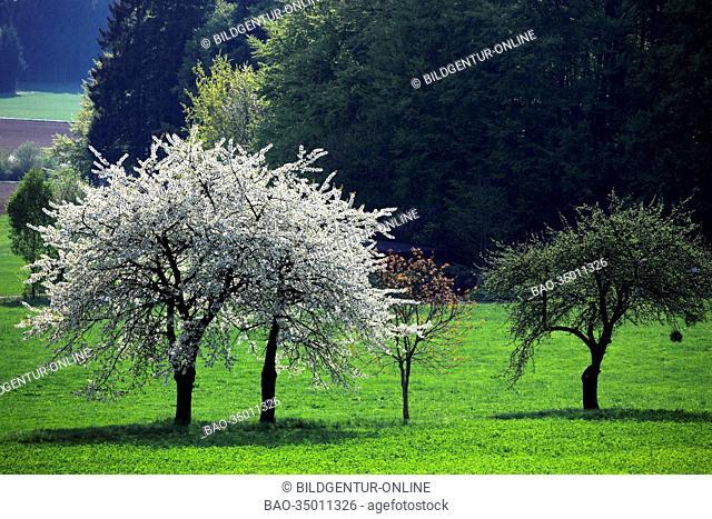blooming cherrytrees, seen in Frankonia, Bavaria, Germany
