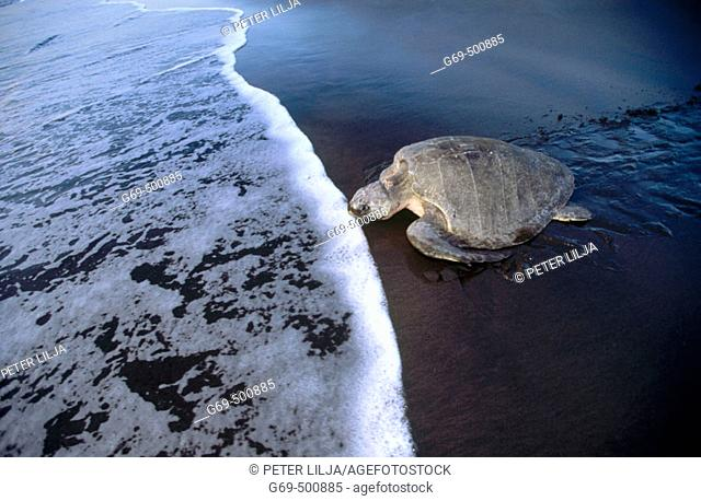 Olive Ridley seaturtle (Lepidochelys olivacea) returns to the sea, waves. Playa Ostional. Costa Rica