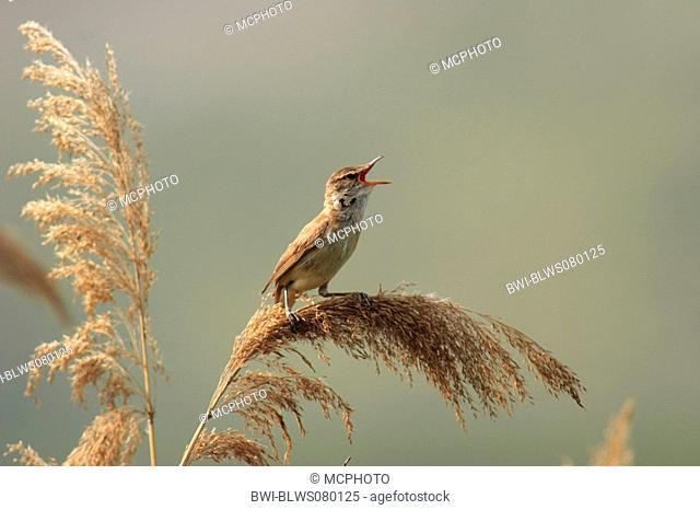 great reed warbler Acrocephalus arundinaceus, singing on reed, Bulgaria