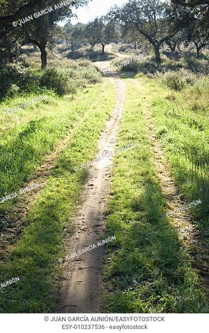 Vertical shot of a path through a lush green spring dehesa landsacape, Extremadura, Spain
