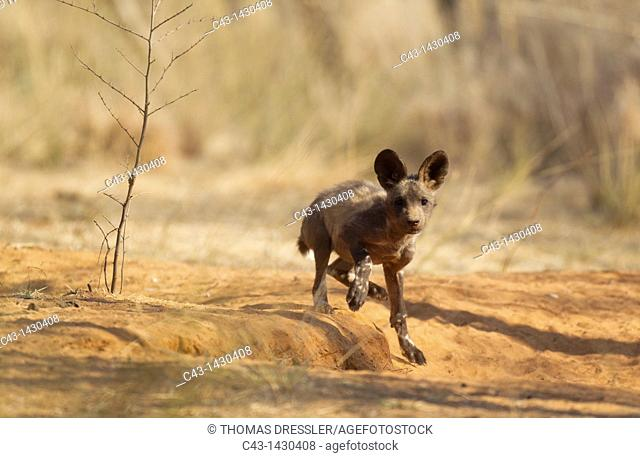 African Wild Dog Lycaon pictus - 13 weeks old puppy at the den is surprised by the presence of the photographer  Listed as endangered species  Photographed in...
