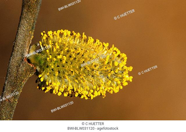 pussy willow, goat willow, great sallow Salix caprea, male inflorescence, catkin, Germany, North Rhine-Westphalia