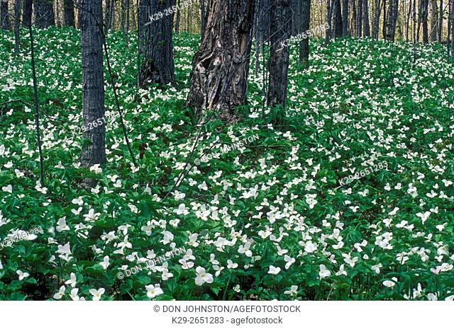 Spring deciduous woodland with carpet of blooming trilliums, near Kagawong, Manitoulin Island, Ontario, Canada