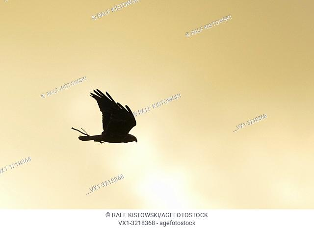 Western Marsh Harrier / Rohrweihe ( Circus aeruginosus ) in flight, flying carring nesting material in its beak, silhouetted against the evening sky