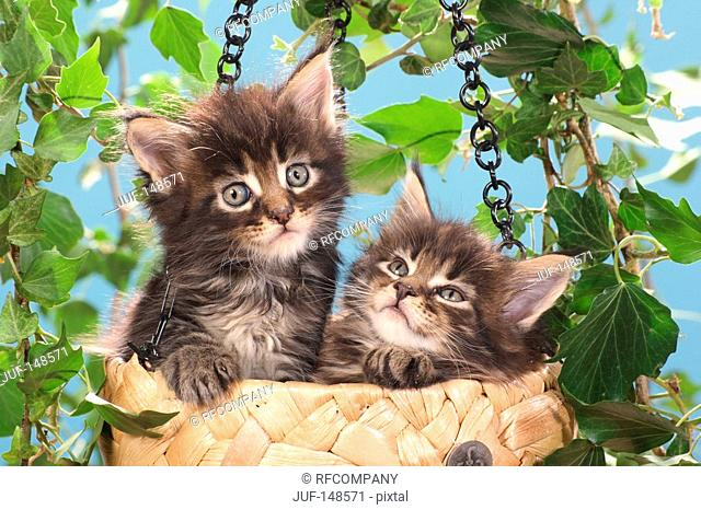 two Maine Coon kittens in basket