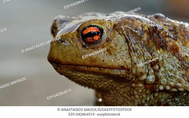 Common (Toad Bufo bufo), Greece
