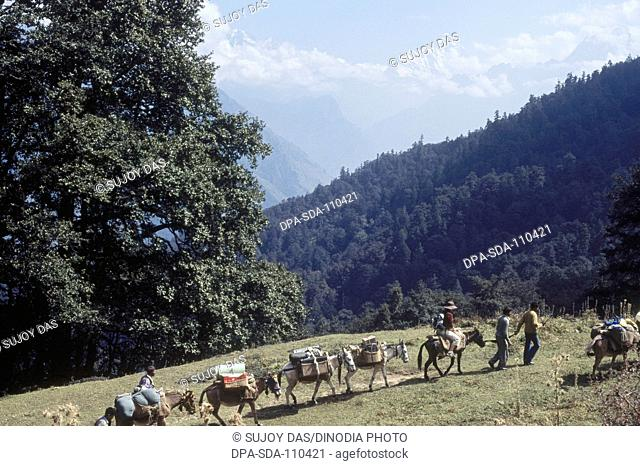 Ponies and trekkers cross the bugyal at Auli above Joshimath on their trek to the Kauri pass; Auli; Garhwal; Uttaranchal ; India