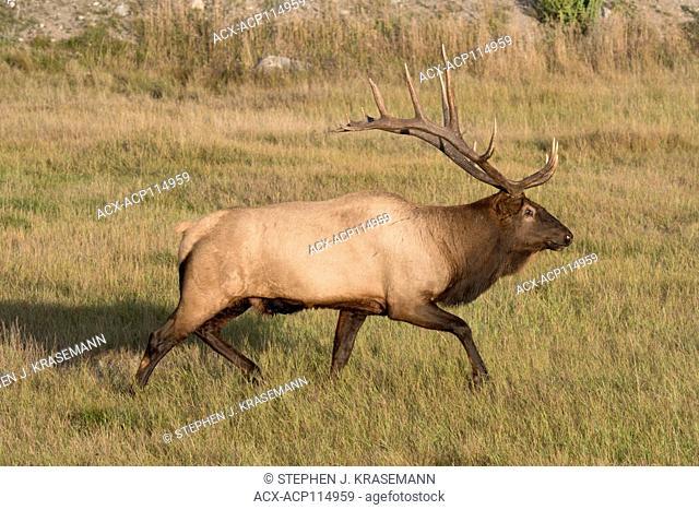 Bull Elk or wapiti walking through dried grasses, (Cervus canadensis), Jasper National Park, Alberta, Canada