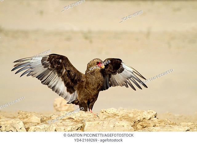 Bateleur (Terathopius ecaudatus) - Young, Kgalagadi Transfrontier Park, Kalahari desert, South Africa