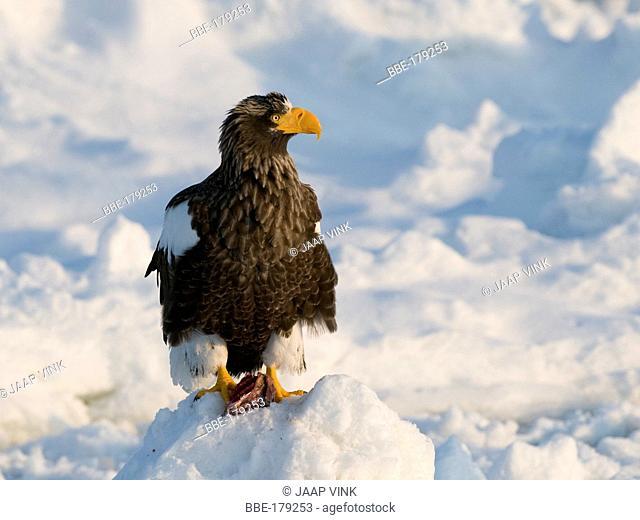 Steller's Sea-Eagle on sea ice near the japanese island Hokkaido