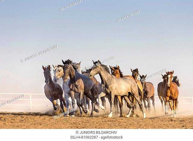 Pure Spanish Horse, Andalusian. Herd of juvenile stallions galloping on dry ground. Spain