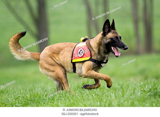 Belgian Shepherd, Malinois. Adult dog working as search and rescue dog running on a meadow. Germany