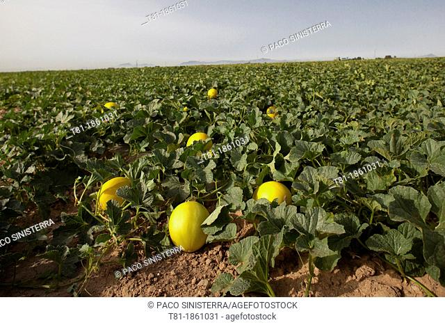 Yellow melons Golf in Murcia, Spain