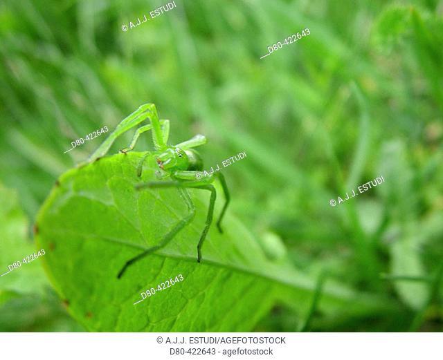 Crab Spider (Thomisus onustus)